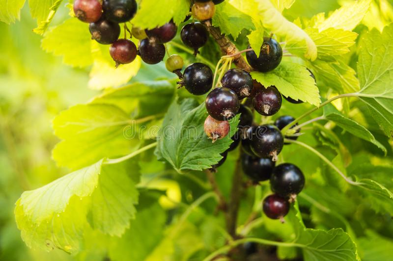 在一个分支特写镜头的成熟黑醋栗莓果在一个晴朗的夏日在庭院里,有机庄稼概念 图库摄影