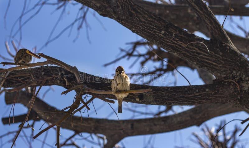在一个分支的两只滑稽的鸟麻雀在一个晴朗的春天庭院里 免版税库存照片