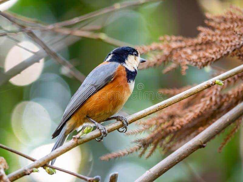 在一个分支的各种各样的山雀在日本森林里 免版税库存图片