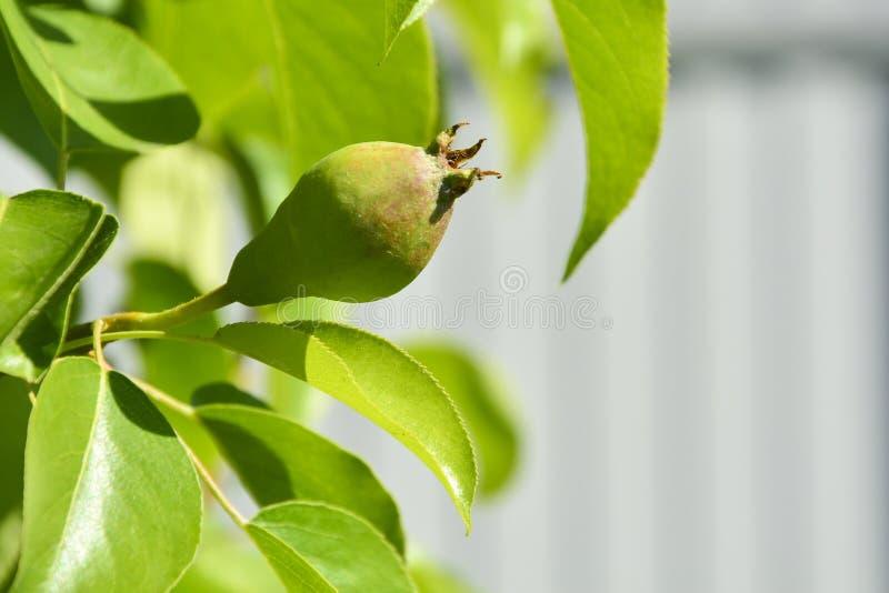 ?? 在一个分支的庭院墙纸年轻梨与绿色叶子和被弄脏的背景 库存照片