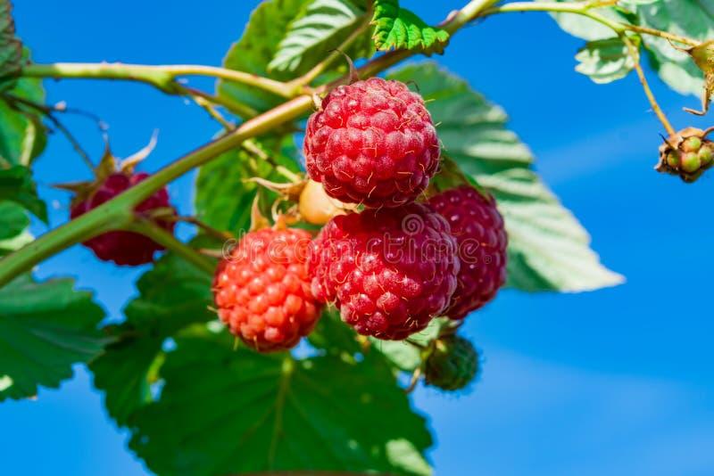 在一个分支的成熟红草莓与绿色叶子,照亮由太阳,反对天空蔚蓝, 免版税库存图片