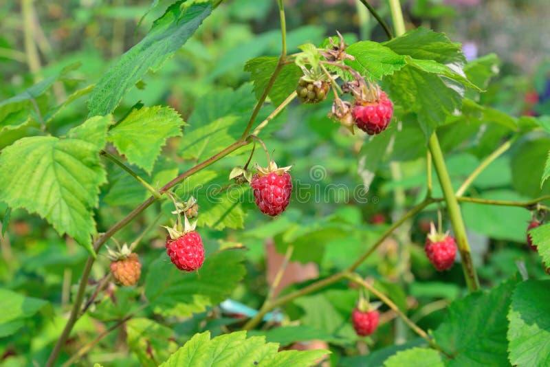 在一个分支的成熟莓在晴天 免版税图库摄影