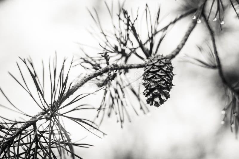 在一个分支的杉木锥体与水滴 库存图片