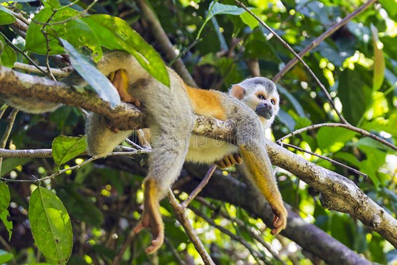 在一个分支的松鼠猴子在哥斯达黎加 免版税库存图片