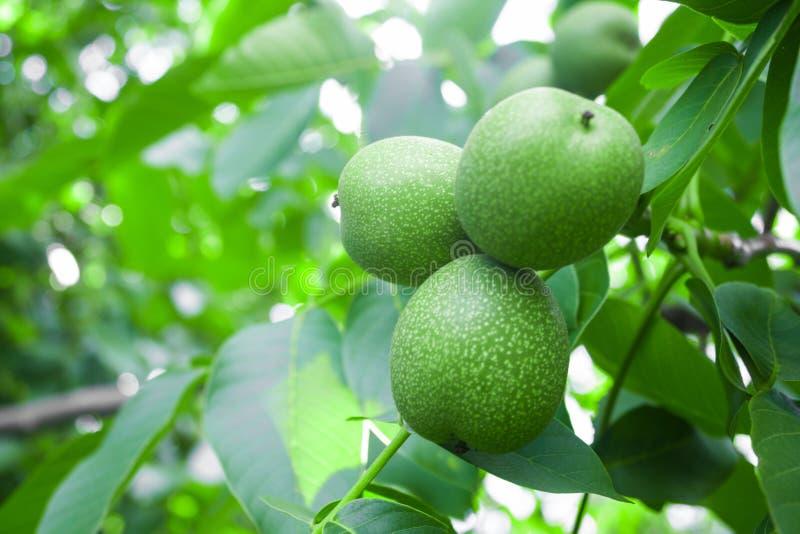 在一个分支的核桃年轻绿色坚果在庭院,自然背景里 库存照片