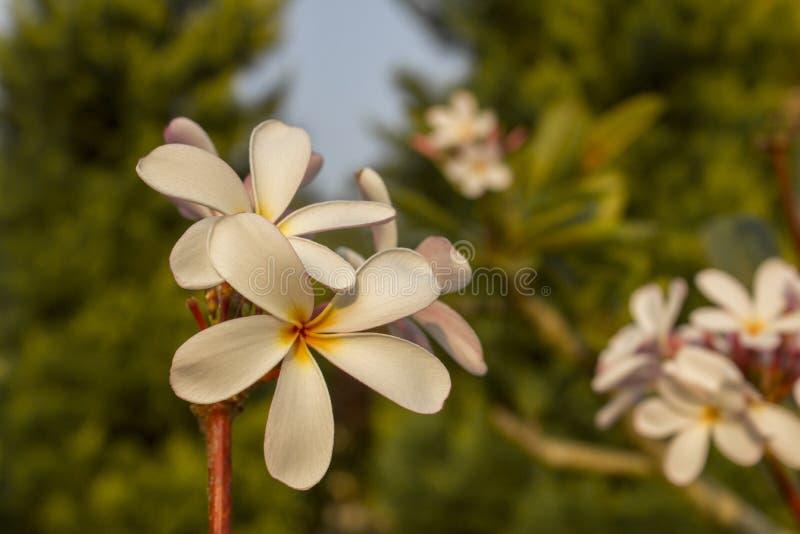 在一个分支的白色黄色桃红色热带花赤素馨花特写镜头在绿色树被弄脏的背景  库存图片