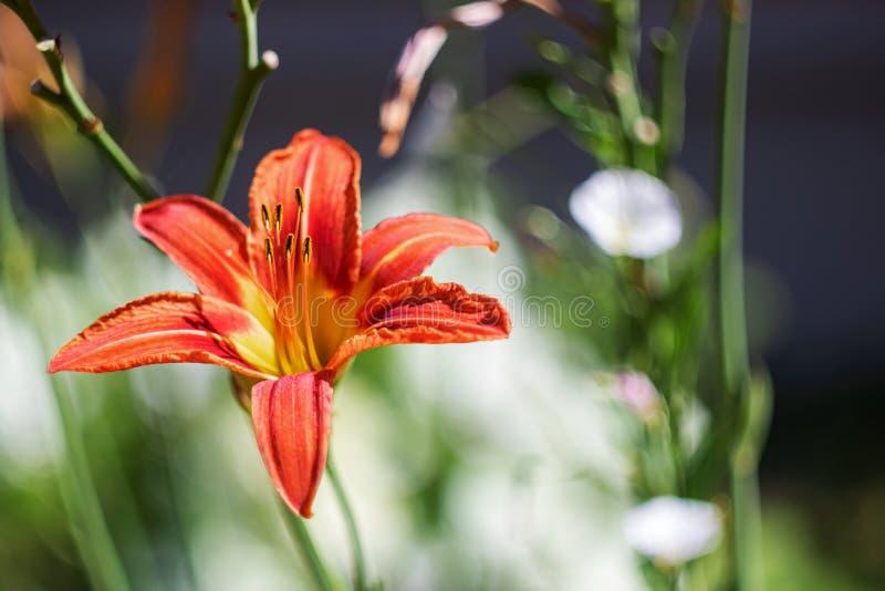 在一个分支的红色庭院百合花与绿色叶子 免版税库存照片