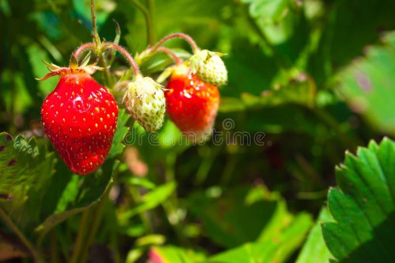 在一个分支的草莓在庭院里,自然背景 图库摄影