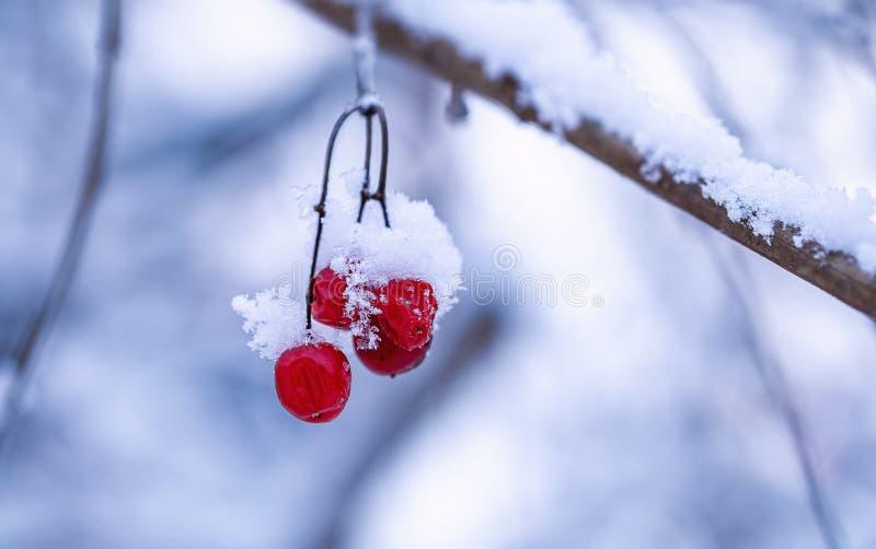 在一个分支的荚莲属的植物与雪 免版税库存图片