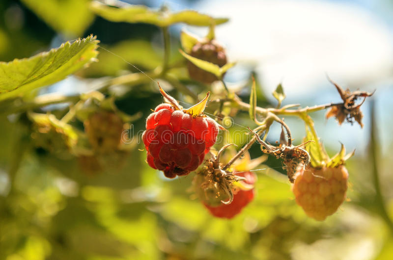 在一个分支的莓莓果反对天空 免版税库存照片