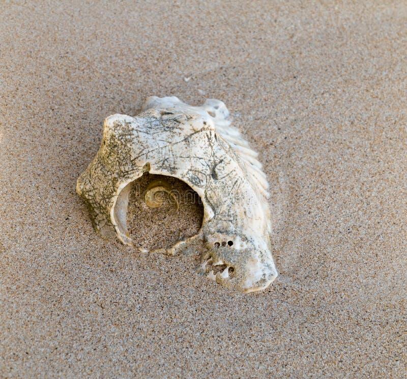 在一个加勒比海滩的巧克力精炼机壳,老 模式螺旋向量 库存照片