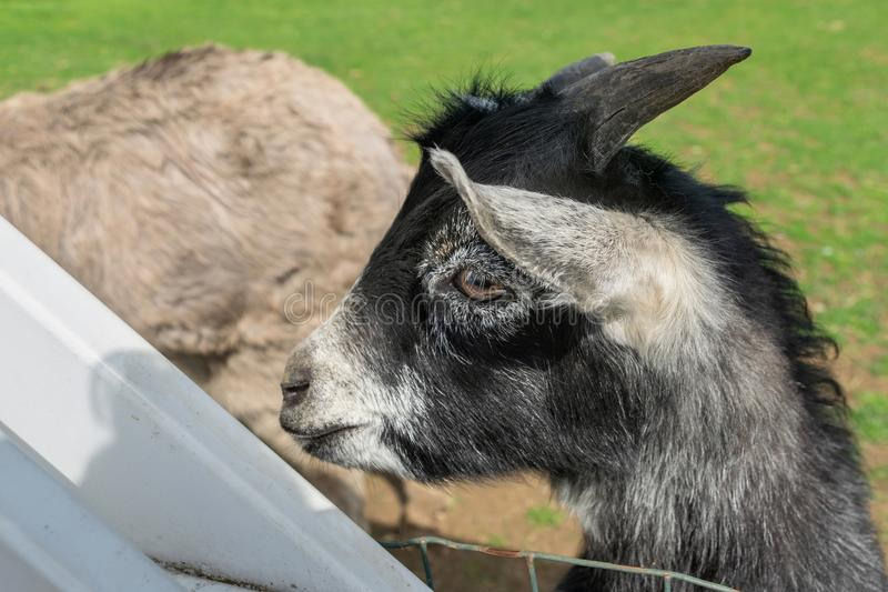 在一个动物园的一只逗人喜爱的小黑山羊在宾夕法尼亚 免版税库存照片