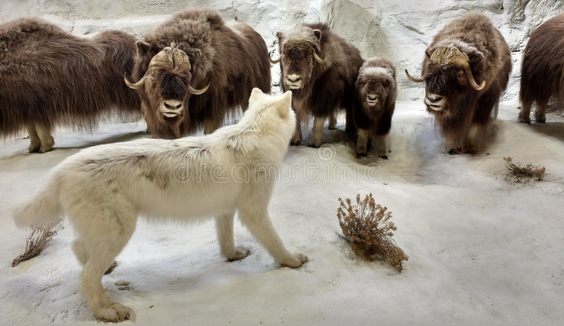 Download 以在一个北极场面的西洋镜野生生物为特色 编辑类图片. 图片 包括有 自然, 牧群, 尺寸, 建筑师, 西洋镜 - 72363540