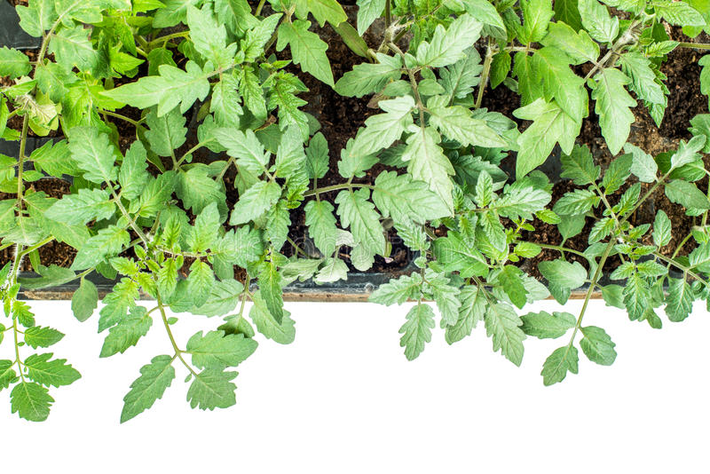 在一个卡式磁带的西红柿在白色背景的幼木的 库存图片