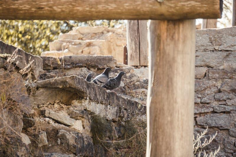 在一个古老修道院的石墙上的鸽子 免版税图库摄影