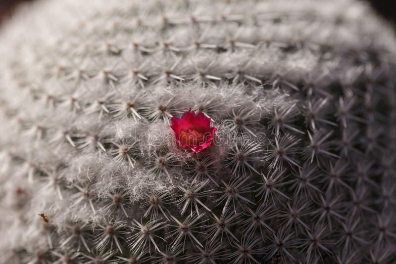 在一个圆的Mammillaria albilanata仙人掌的微小的桃红色花 免版税库存图片