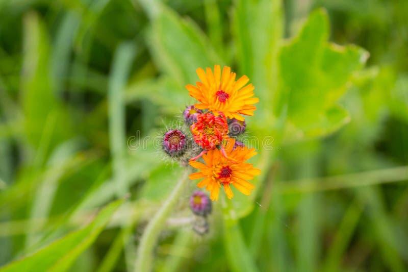 在一个土气草甸的橙色野花 库存图片