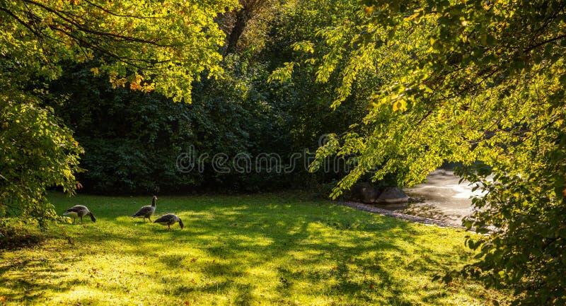在一个城市公园的秋天在慕尼黑,德国 在草的鸭子在一个小池塘附近 免版税库存照片