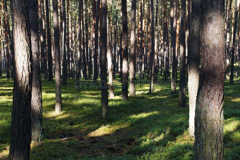 在一个夏日期间,绿色杉木森林 库存照片