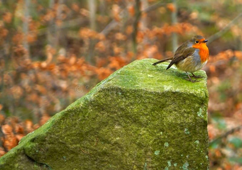 在一个大岩石栖息的知更鸟 免版税库存照片