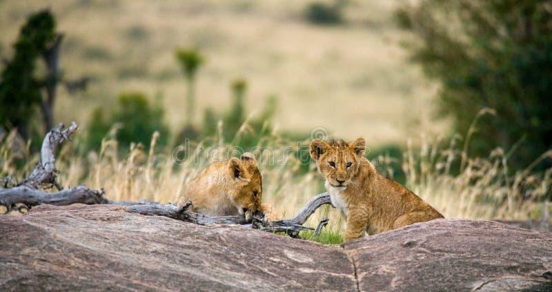 在一个大岩石的两个年轻人狮子 国家公园 肯尼亚 坦桑尼亚 mara马塞语 serengeti 免版税库存图片