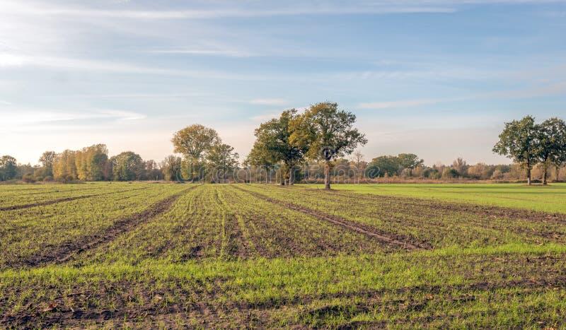 在一个大领域的新近地被播种的草行与玉米发茬 有些树打破平的风景 这是在的秋天 免版税库存图片