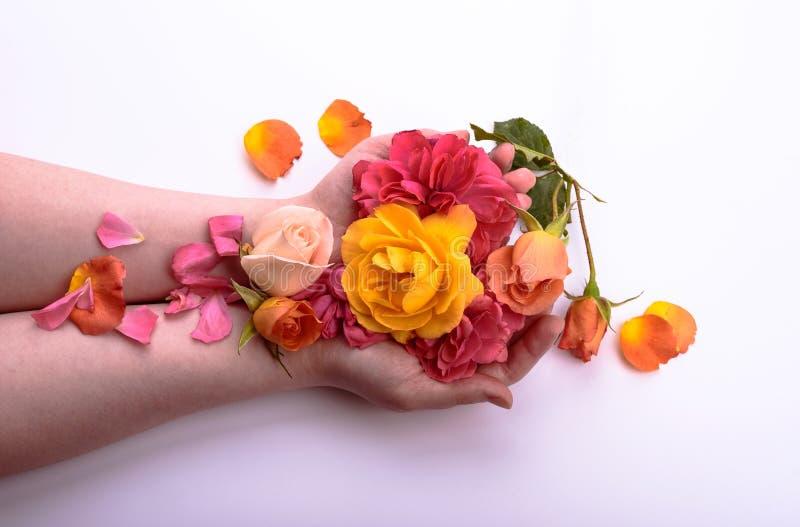 在一个女孩的棕榈的多彩多姿的玫瑰 应用关心皮肤透明图片