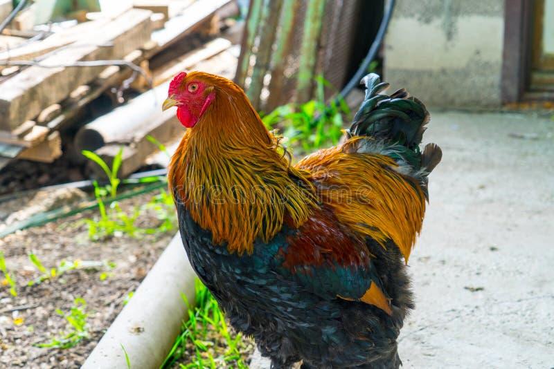 在一个家庭农场的成人公鸡 家庭在村庄 免版税库存图片