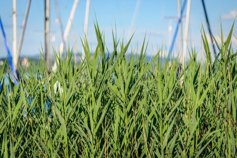 在一个小口岸前面的绿色芦苇在博登湖 免版税库存照片