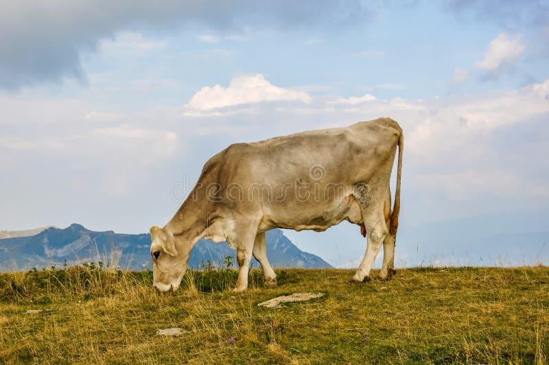 在一个小山顶的母牛在意大利 库存图片