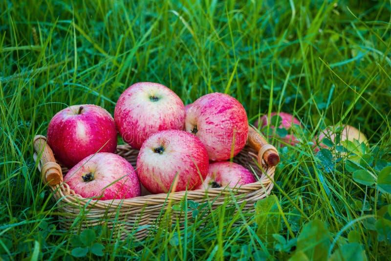 在一个小柳条筐的新近地被收获的成熟苹果在绿草在庭院里 特写镜头 免版税库存照片