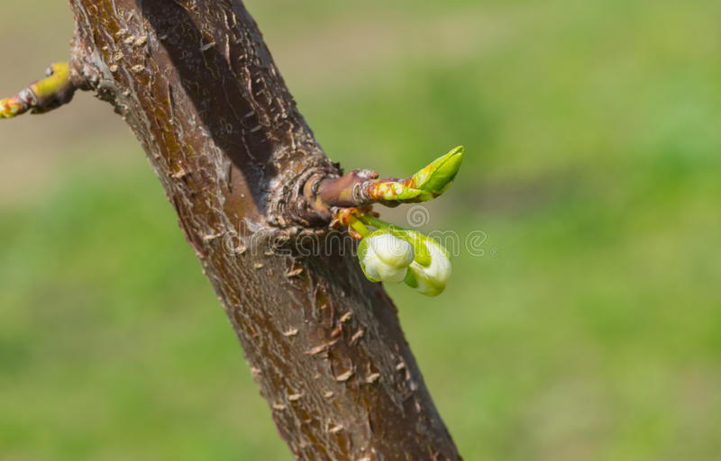在一个小樱桃树分支的开花在春季 免版税库存图片