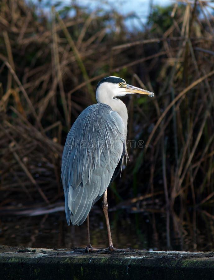 在一个小湖的灰色苍鹭在瑞典 库存照片