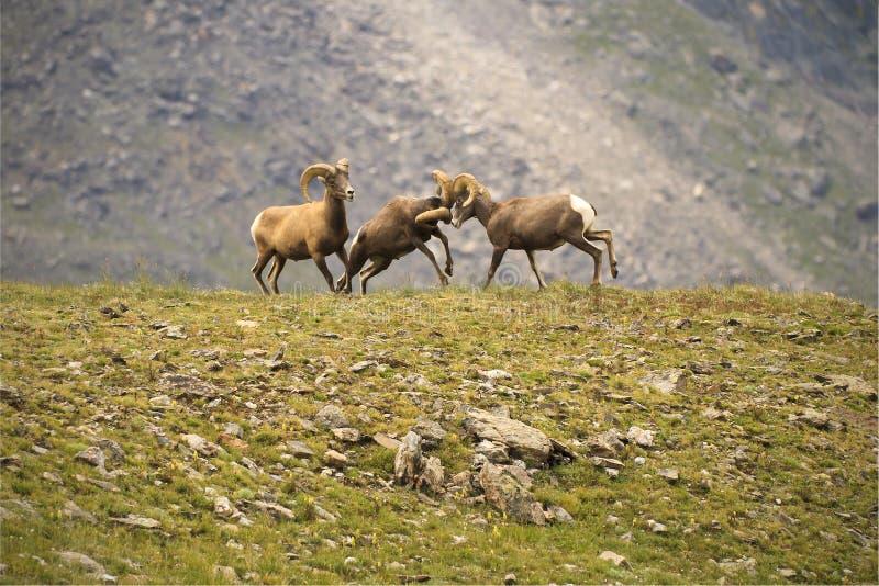 在一个山腰的年轻大角野绵羊接界的头在科罗拉多 库存照片