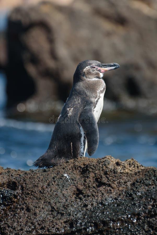 在一个岩石的一只加拉帕戈斯企鹅在圣地亚哥岛,加拉帕戈斯群岛,厄瓜多尔,南美洲 库存照片