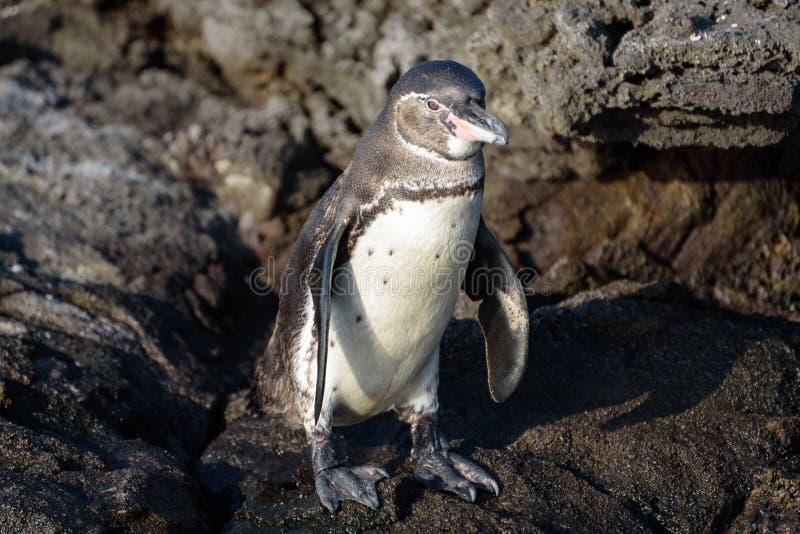 在一个岩石的一只加拉帕戈斯企鹅在圣地亚哥岛,加拉帕戈斯群岛,厄瓜多尔,南美洲 免版税库存图片