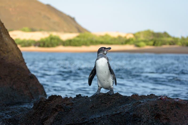 在一个岩石的一只加拉帕戈斯企鹅在圣地亚哥岛,加拉帕戈斯群岛,厄瓜多尔,南美洲 免版税库存照片