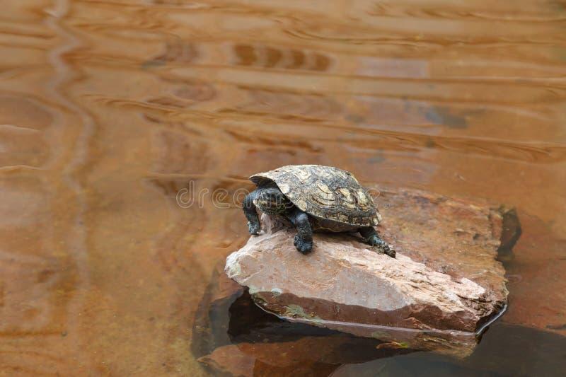 在岩石的乌龟 库存照片