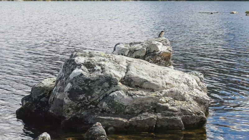 在一个岩石的燕子在摇篮的mt鸠湖在塔斯马尼亚 免版税图库摄影