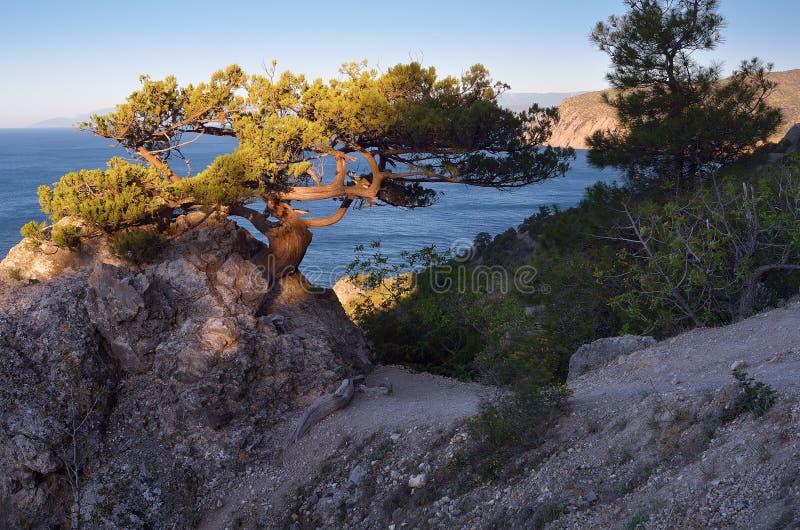 在一个岩石的老树由海 免版税图库摄影