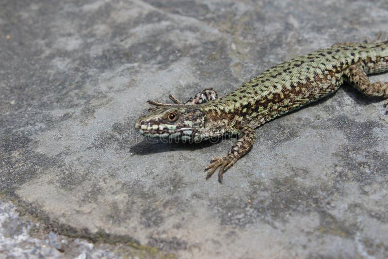 在一个岩石的蜥蜴在太阳下 免版税图库摄影