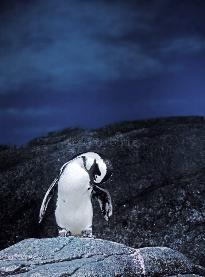 在一个岩石的麦哲伦企鹅立场在自然背景 免版税库存图片