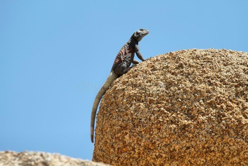 在一个岩石的Chuckwalla蜥蜴在约书亚树国家公园 免版税库存照片