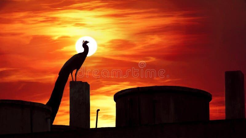 在一个平衡的恶梦的孔雀 免版税图库摄影