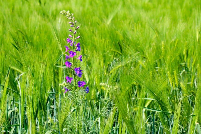 在一个年轻,新绿色黑麦领域的狂放的紫色花,与明亮的下午光,在欧洲东南部 库存照片