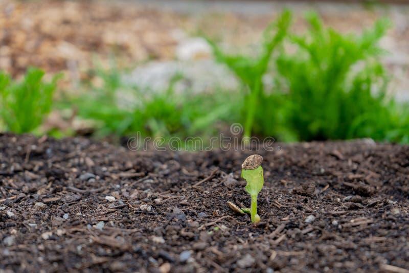 在一个庭院里压幼木萌芽,涌现在土壤外面,当种子仍然附在金瓜植物的第一片叶子 免版税库存照片