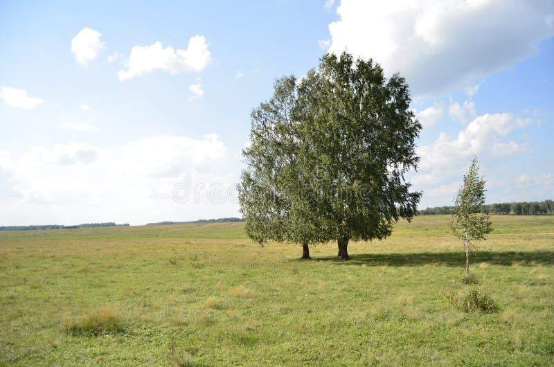 在一个开放领域的两个桦树 库存照片