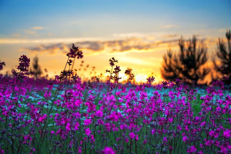 在一个开花的草甸的夏天日出 免版税库存照片