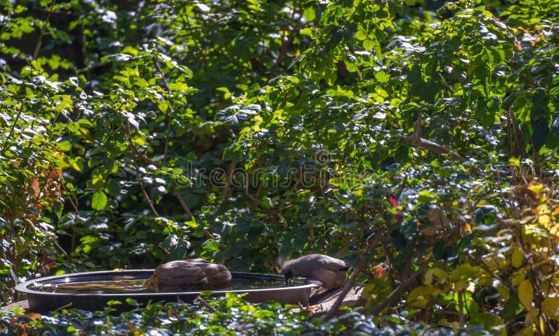 在一个戏水盆的一有斑点的mousebird在庭院里 免版税库存照片