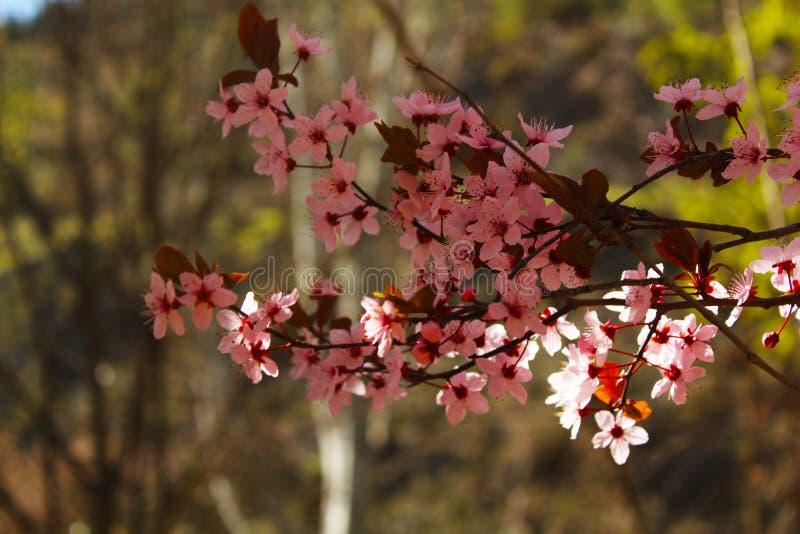 在一个扁桃的美丽的花在春天 免版税库存照片
